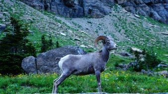 Big Horn Sheep!