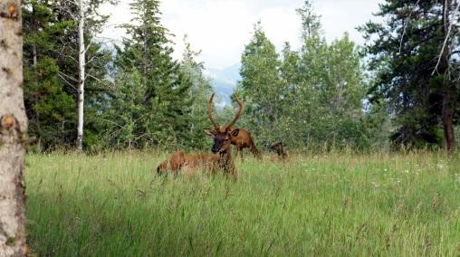 Elk!!!